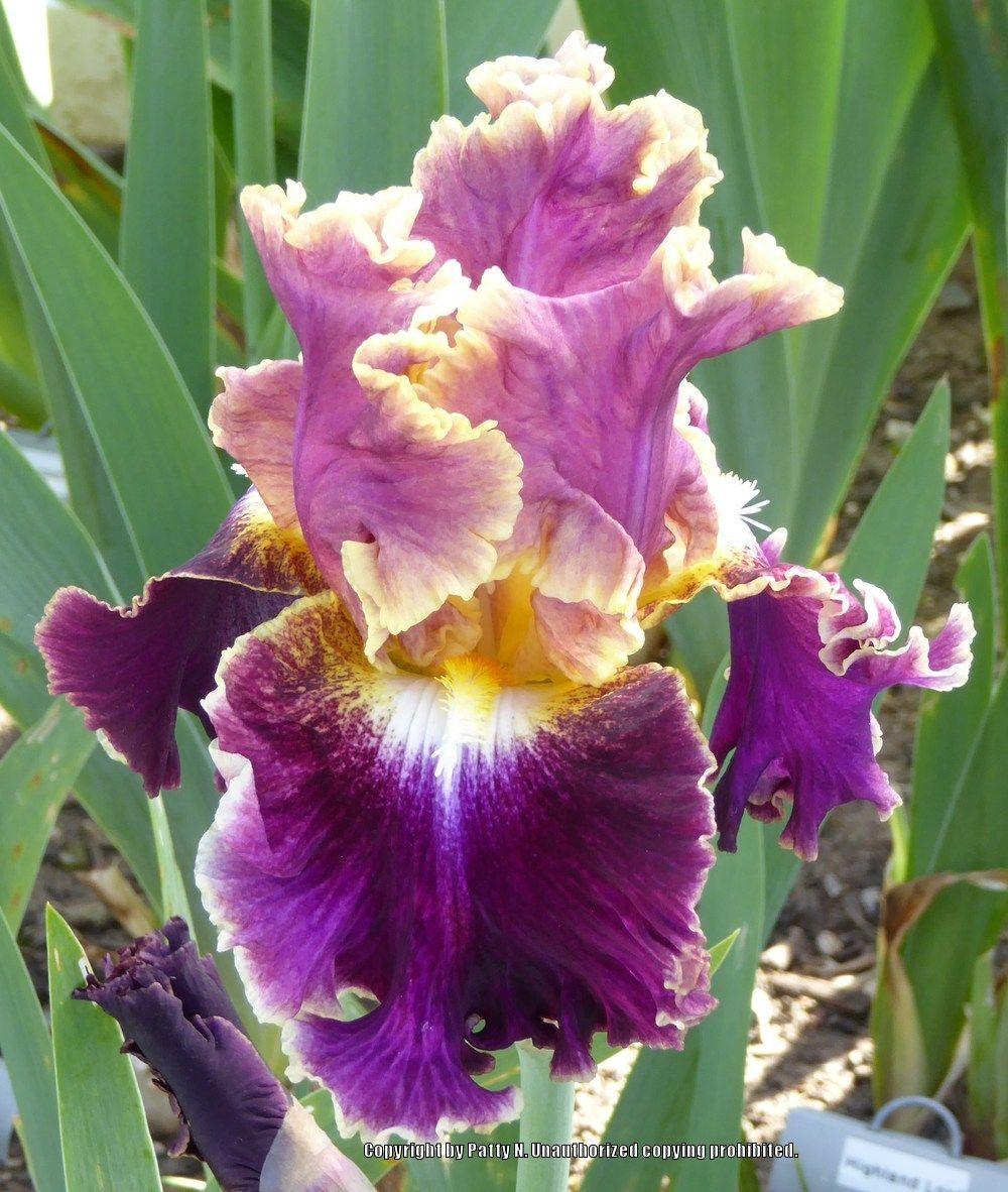 TB Iris germanica 'Montmartre' (Keppel, 2007)