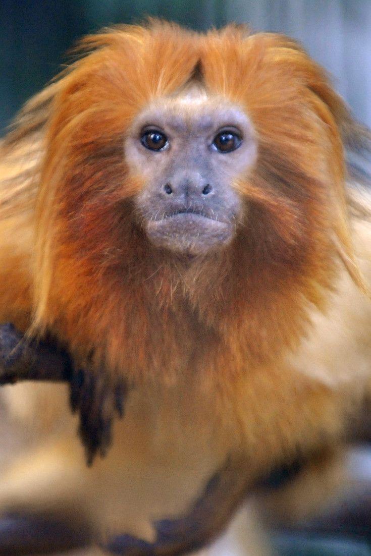 Rare Golden Lion Tamarin Monkey Eaten By Otters In Accident At Britain's Bristol Zoo Gardens