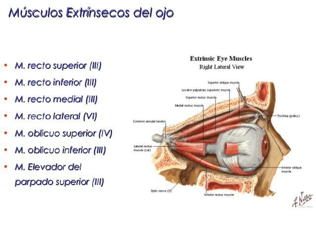 Músculos Extrínsecos del ojo (vista lateral) y la inervación de cada ...