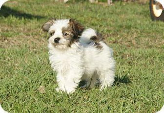 Alpharetta Ga Papillon Maltese Mix Meet Nessie A Puppy For