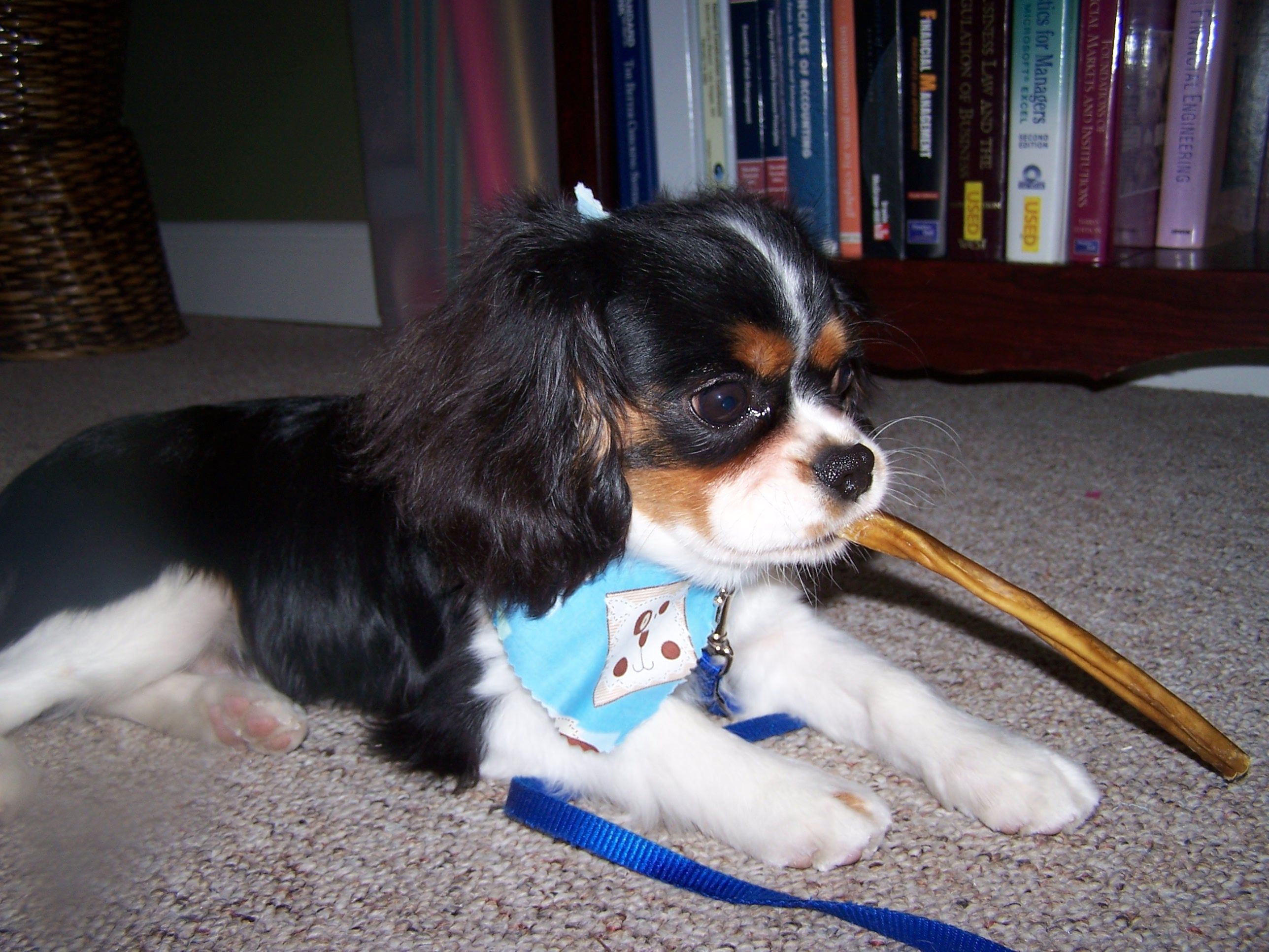 Parker Cavalier King Charles puppy   Cavalier king charles