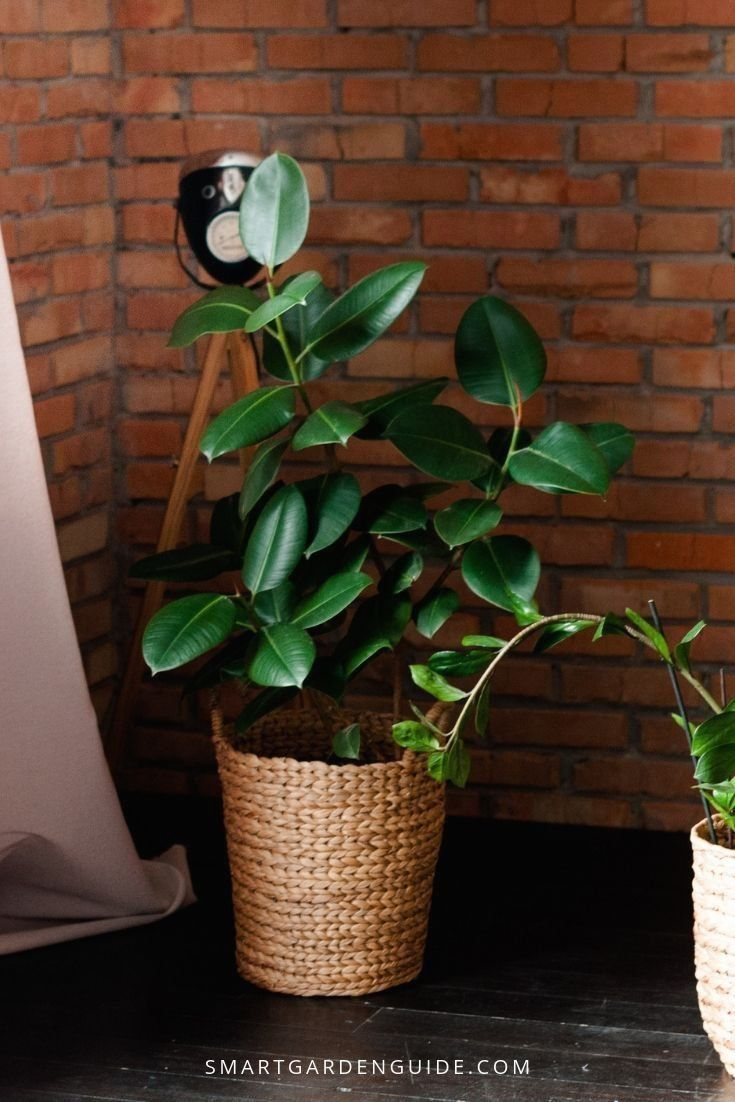 how to care for a rubber plant outside