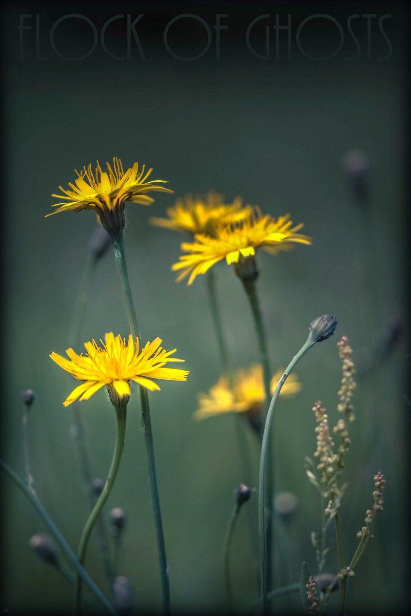 Crepis biennis (Wiesen-Pippau - Asteraceae) | Heimische Wildpflanzen ...
