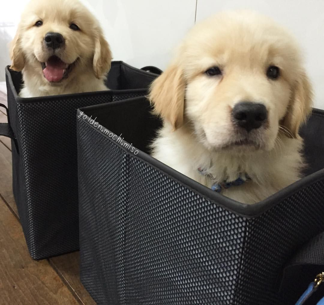 Pin By Alex D On Puppies Golden Dog Puppies Dog Cat