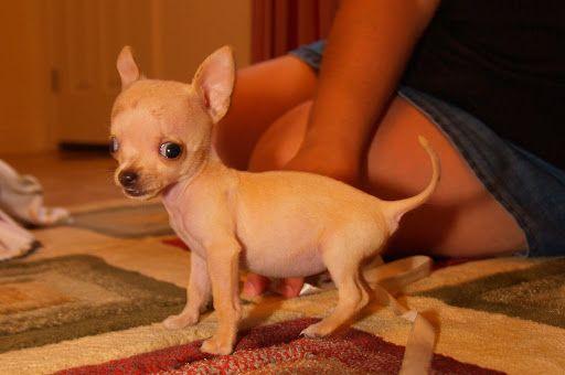 Applehead Chihuahua Puppies Apple Head Chihuahua Puppy Bambi