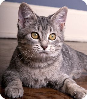 Chicago Il Domestic Shorthair Meet Maple A Kitten For