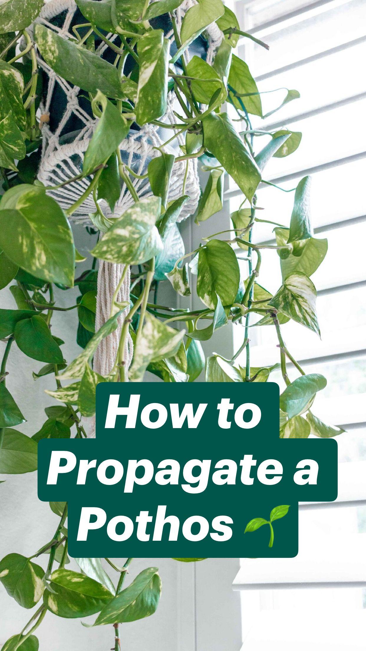How to Propagate a Pothos 🌱