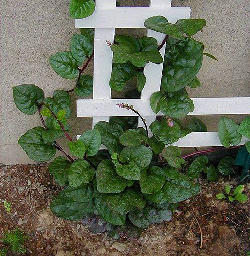 Basella alba (common names: Malabar spinach / Indian spinach