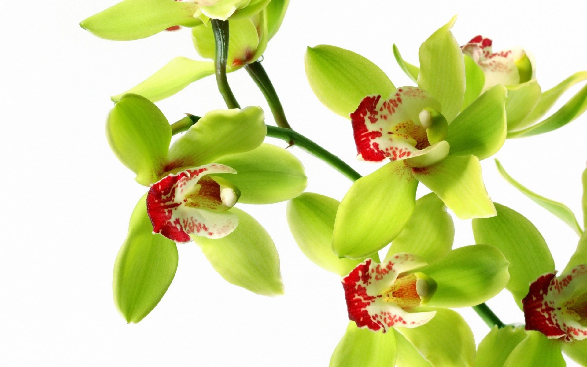 Orchid Flowers Wallpaper Orchid Wallpaper Green Orchid Orchids