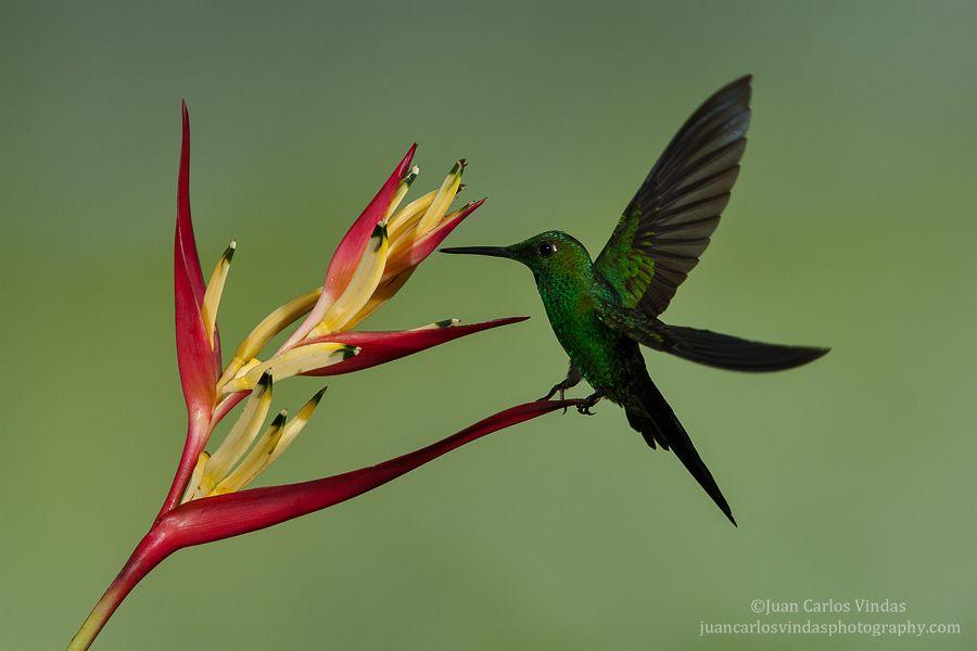 Green Crowned Brilliant M Beautiful Birds Animals Wild Green