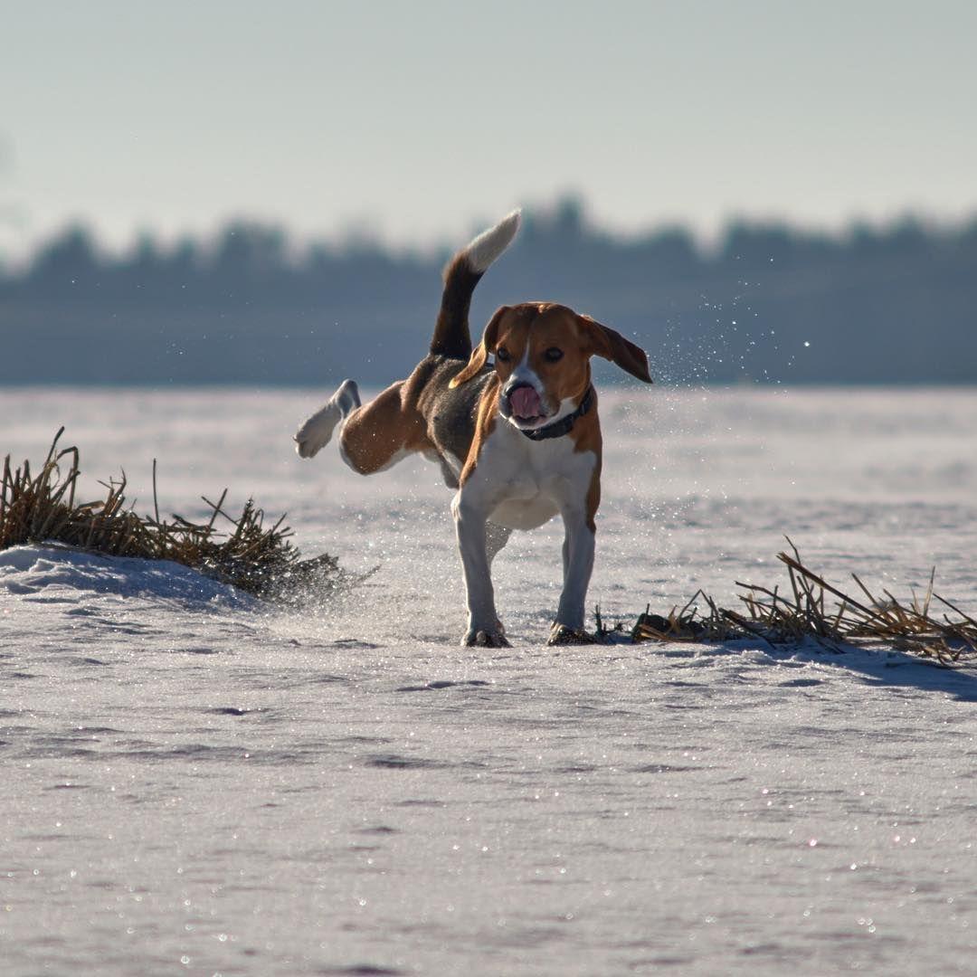 Magical Beagle Running On A Beach Beagle Pets Animals