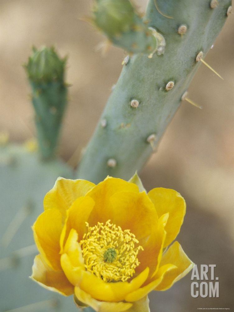 Prickly Pear Cactus in Bloom, Arizona-Sonora Desert Museum, Tucson, Arizona, USA, by John & Lisa Merrill