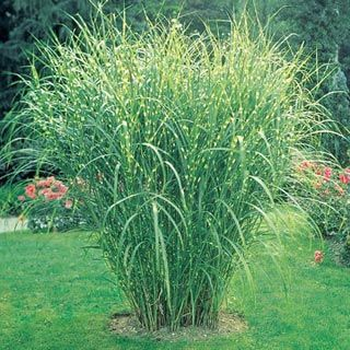 Zebra ornamental grass impressive and exotic looking for Ornamental grasses 3 ft tall