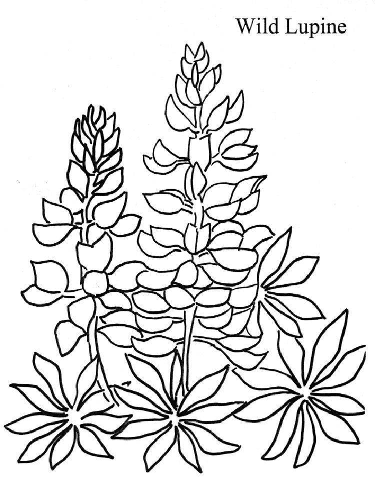 Lupine Flower Coloring Pages In 2020 Flower Coloring Pages
