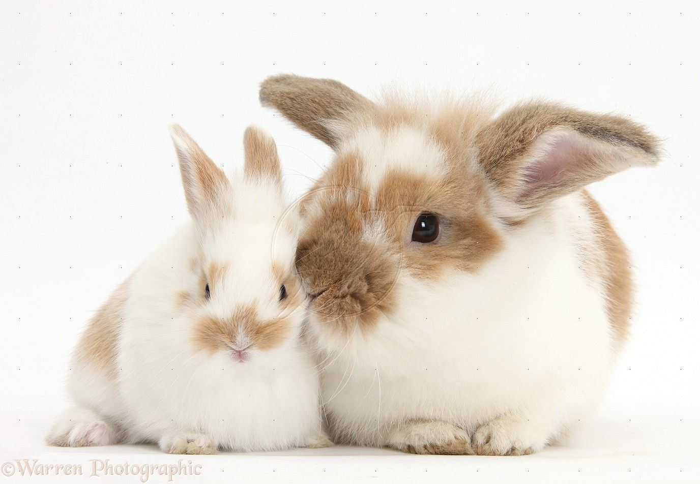 Brown And White Rabbit And Baby Bunny Photo Baby Bunnies Rabbit Bunny
