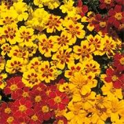 Tagetes patula nana 'Fantasia' (French marigold 'Fantasia') Click image to learn more, add to your lists and get care advice reminders  each month.