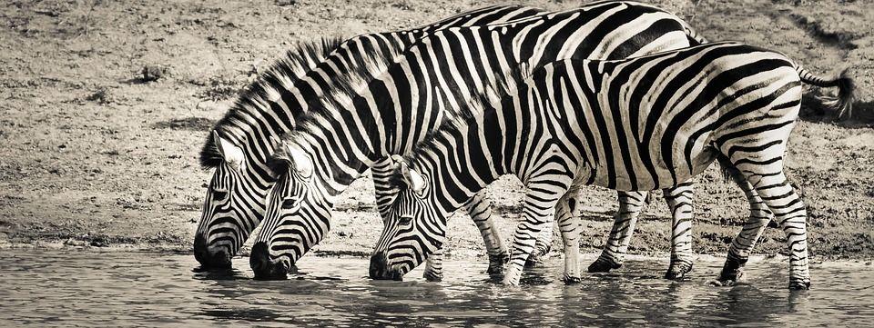 Zebra, Safari, Vida Selvagem, Savanas, Natureza