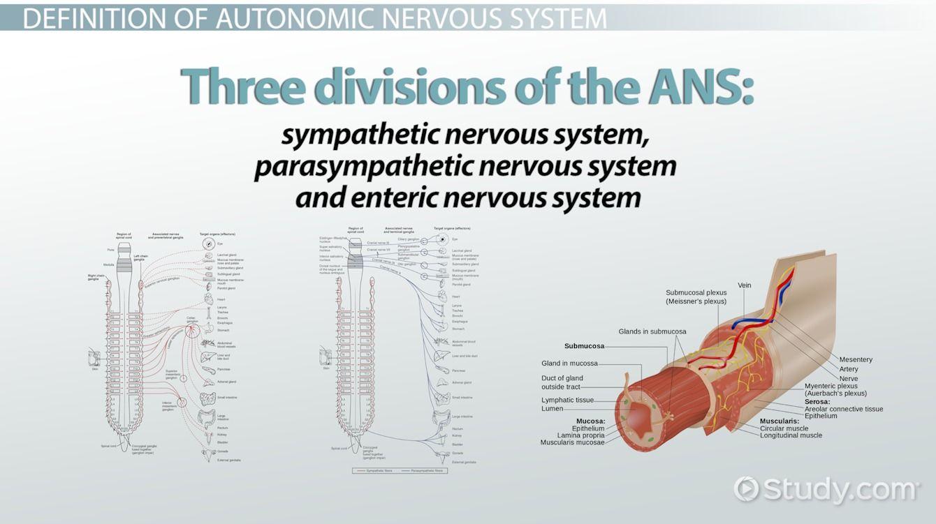 Image result for nervous system divisions Enteric
