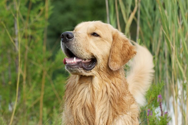Another Picture Of Oliver From The Golden Retriever Forum