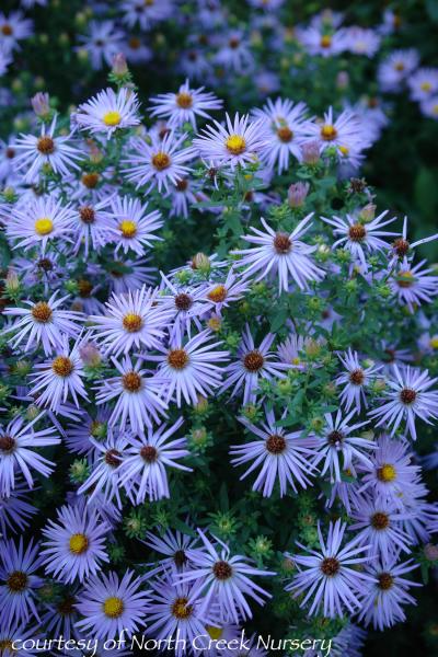 If You Are Looking For A Aster With Engaging Late Season Color Impeccably Handsome Mildew Resistant Foliage And A Mediu In 2020 Digging Dogs Dog Nursery Types Of Soil