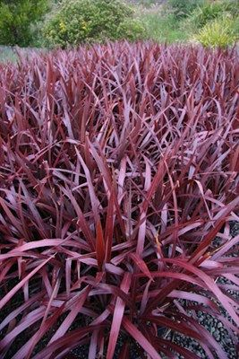 Cordyline Australis Cordyline Cabernet Is A Beautiful Plant With Glossy Strappy Purple Foliage This Plant Is A Great Ad Plants Year Round Colors Front Garden