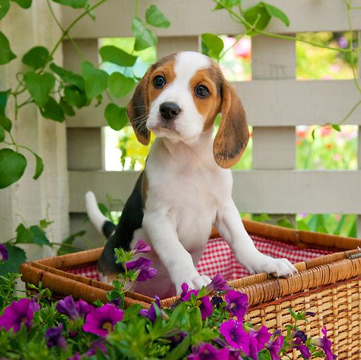 Dogs And Puppies Animal Stock Photos Beagle Puppy Puppies