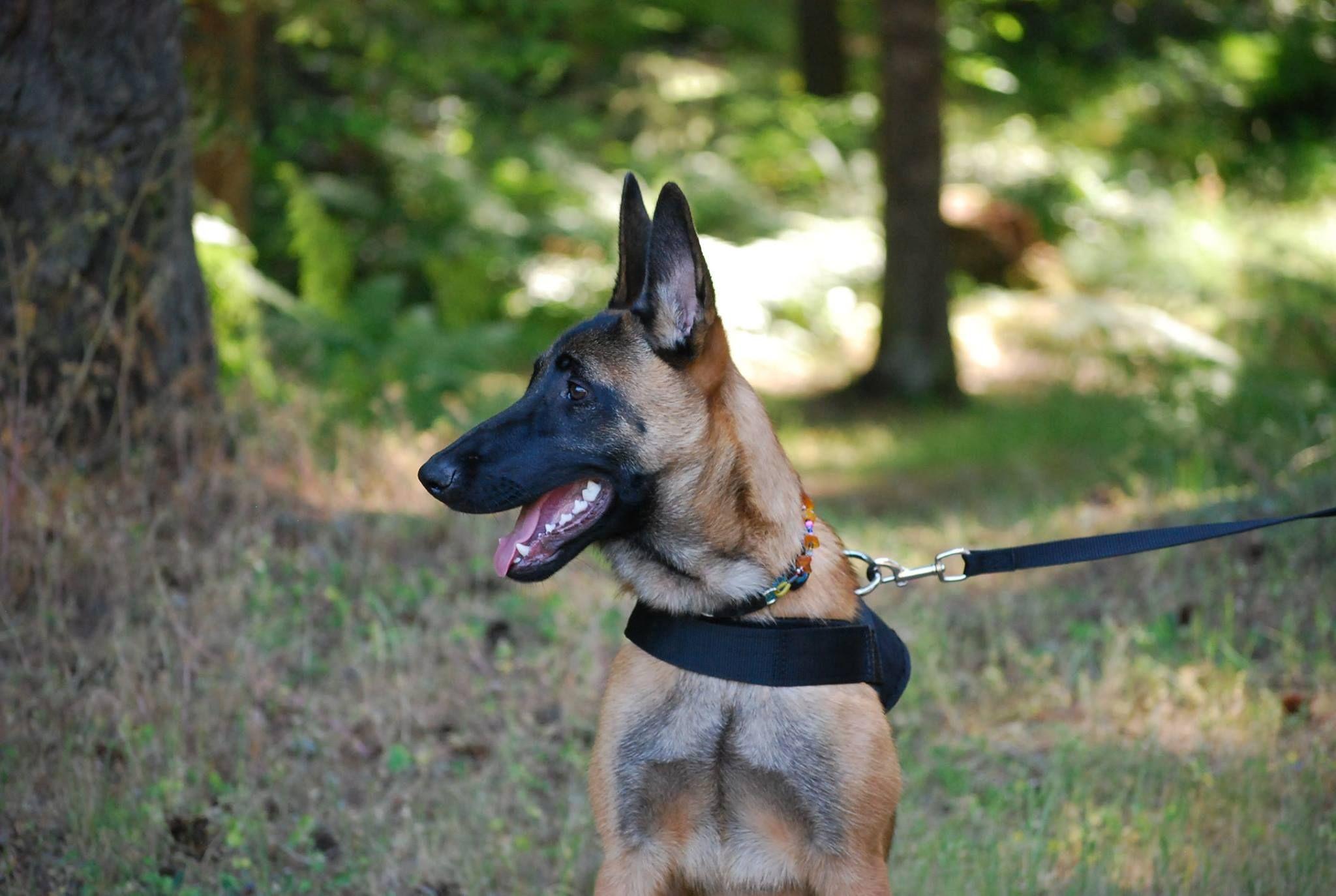 Belgian Malinois Rescue Adoption In 2020 Malinois Belgian Malinois Dog Adoption