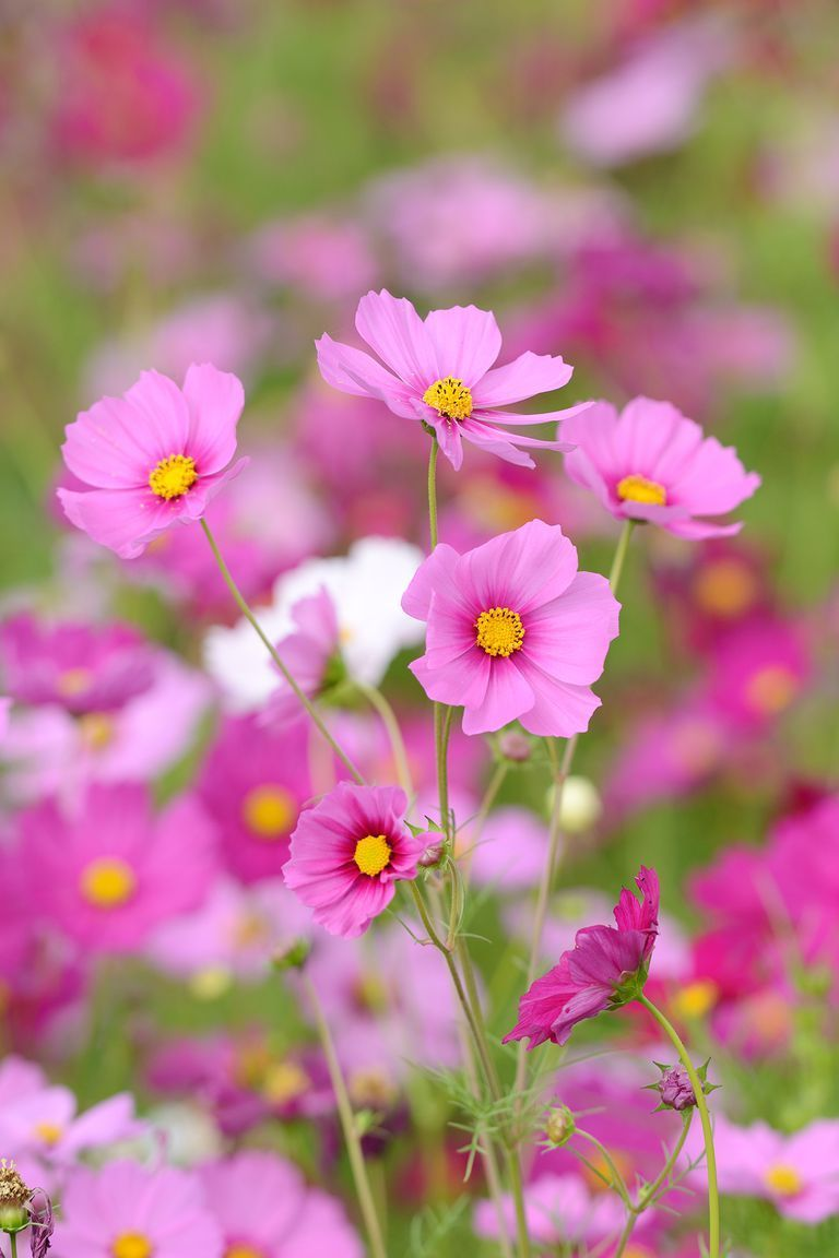 Cosmos Are An Annual Flower That Last All Summer Long The More You Cut Them Taller And Longer They Grow Flowers Decor Diy Wishlist Inspiration
