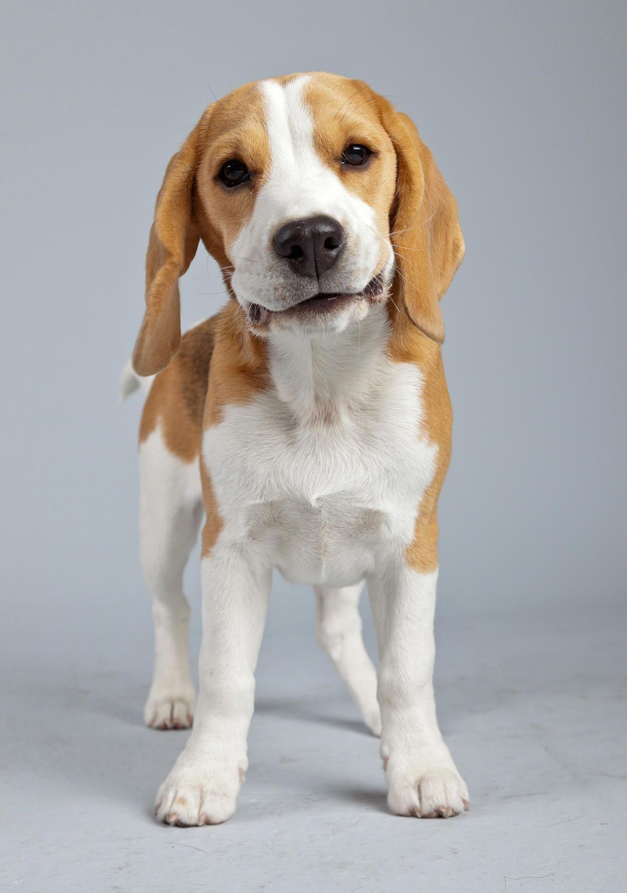 Determine More Information On Beagles Have A Look At Our Internet