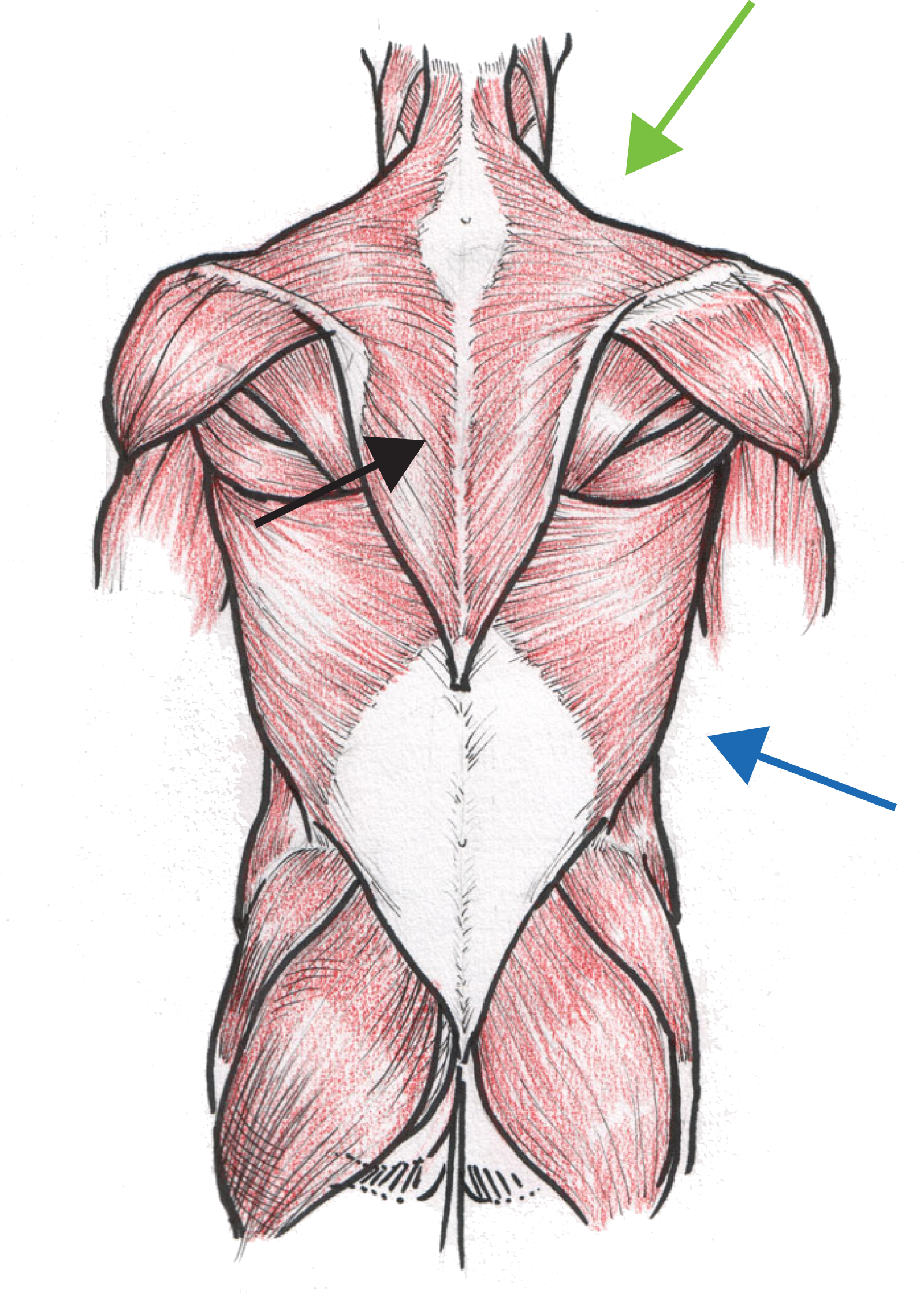 Anatomical illustrations of muscle groups can be complicated ...