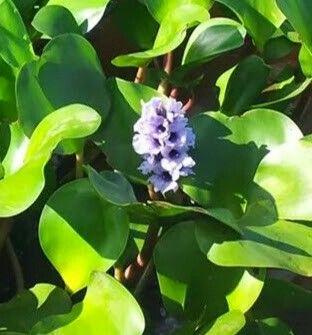 Flores d'agua