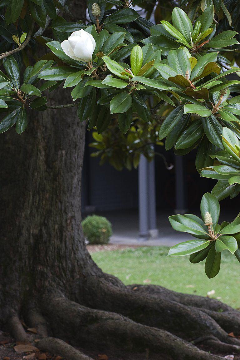 Magnolia Tree At Belle Meade Nashville Naturetravelanimals