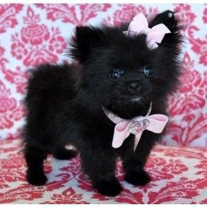 Black Teacup Pomeranian Pomeranian Pomeranian Full Grown Pomeranian Puppy Cute Dogs