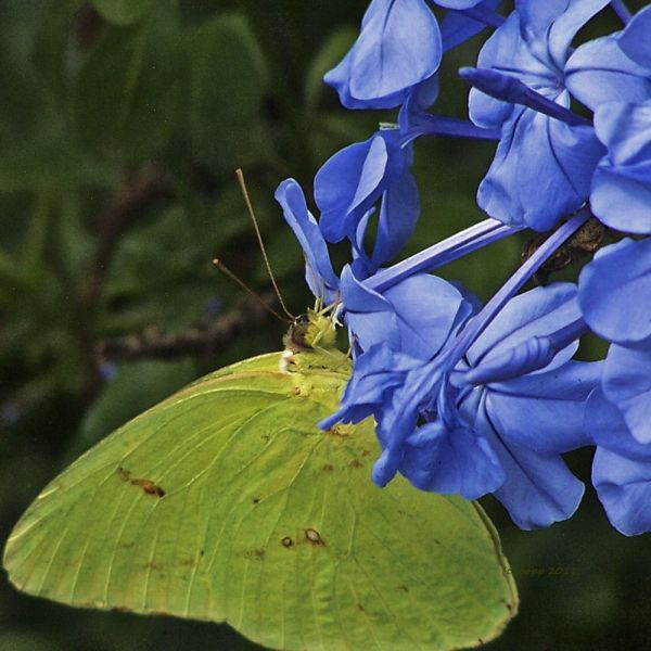 Yellow Cloudless Sulphure Butterfly(c) 2012