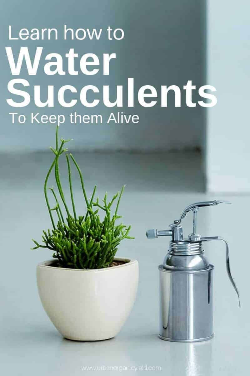 How to water succulents when to water succulents how