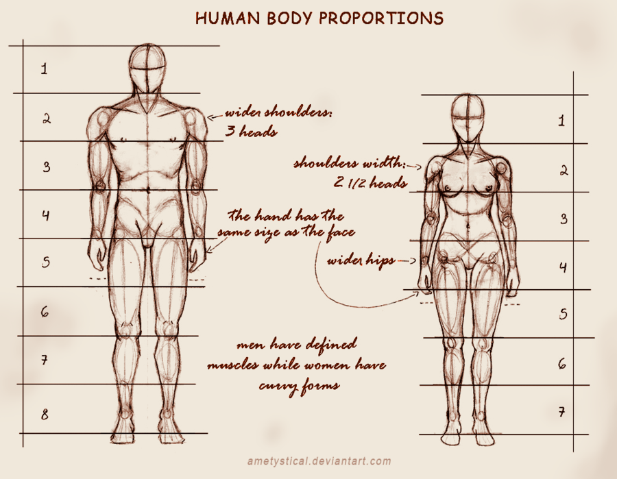 Anatomy proportions drawing