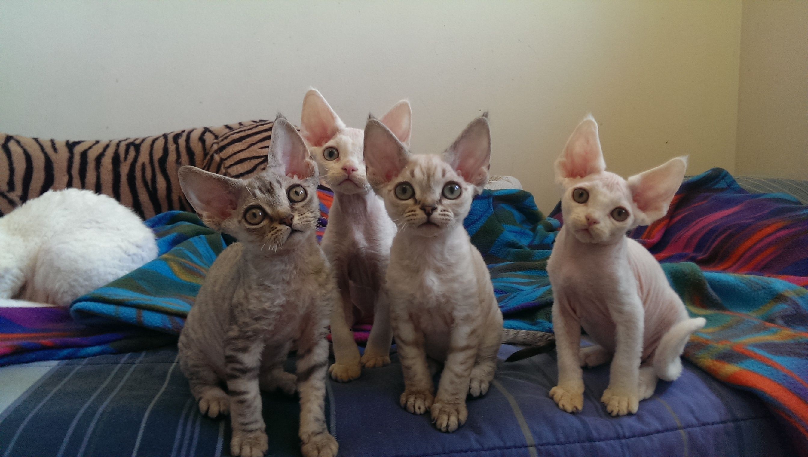The Devon Rex Cat is a breed of intelligent, shorthaired