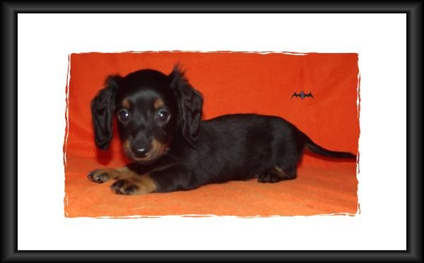 Mini Dachshund Puppies For Sale In Alabama Akc Smooth Long Coat