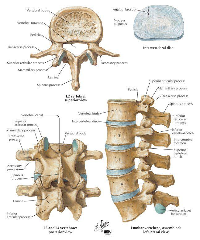 Lumbalgia: Composicion de la columna Lumbar | Anatomia Humana ...