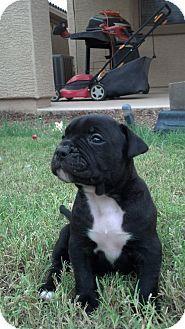 Chandler, AZ Boxer Mix. Meet Duncan, a puppy for