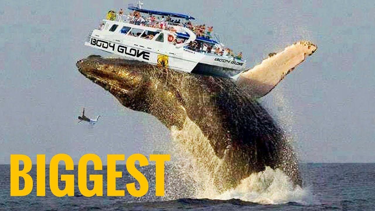 whale largest에 대한 이미지 검색결과 Big whale, Big animals, Whale