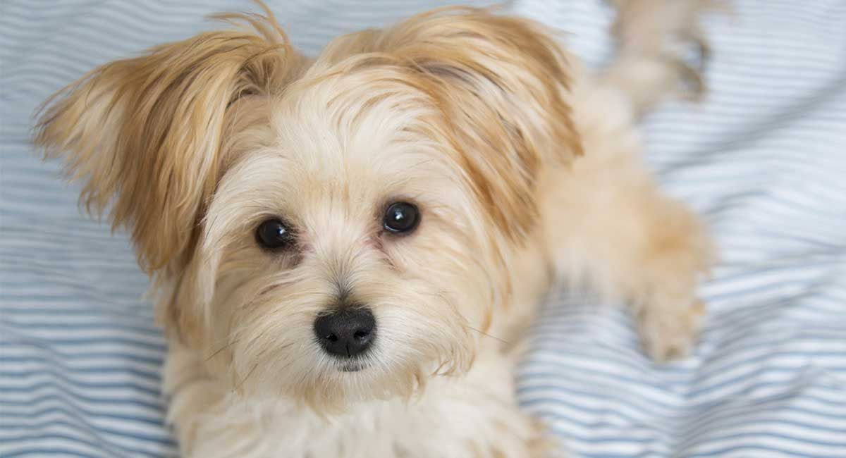 Morkie The Maltese Yorkshire Terrier Mix Yorkshire Terrier