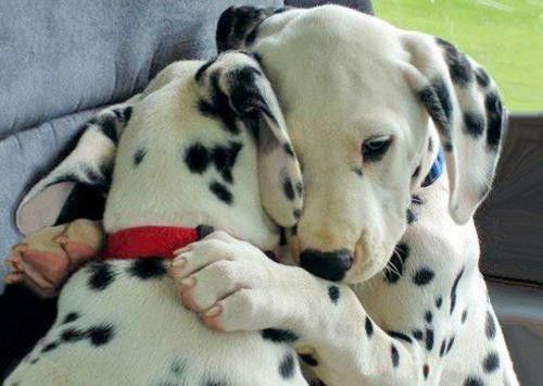 Two dalmatian pups hugging each other.