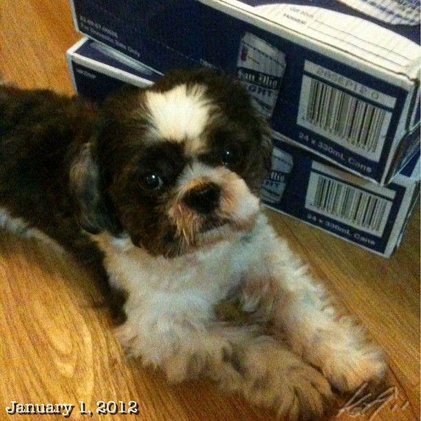 Readyな Newyearsday Philippines Shihtzu Dog Sanmig Beer