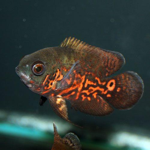Tiger Oscar Astronotus Ocellatus Small Fish Oscar Fish Cichlids