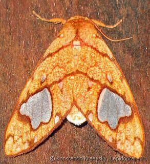 Mariposa Zatrephes trailii