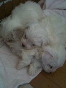 Maltese Puppies Teacup Puppies Maltese Maltese Dog Breed Maltese Puppy