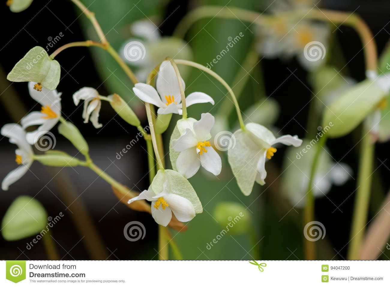 Begonia X Hybrida Baby Wing White Flower With Yellow Stamen In