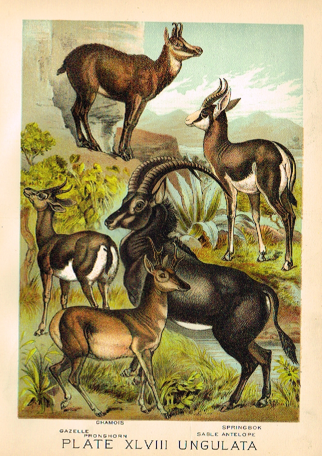 Johnson S Animal Kingdom Gazelle Chromo 1880 Wildlife Prints Nature Illustration Animals