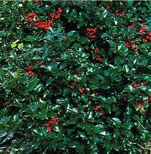 Blue Princess Holly Broad Shrubby Habit With Dark Shiny Blue Green Foliage White Flowers Turn Into Bright Red Ber Garden On A Hill Shade Garden Red Berries